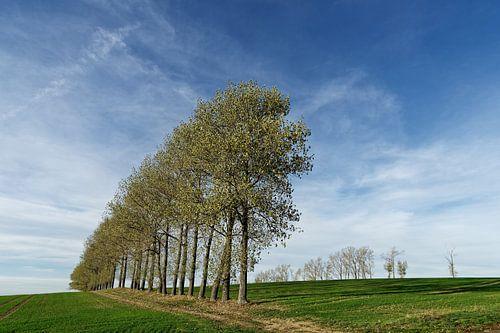 Baumreihe auf abgeerntetem Feld von Ralf Lehmann