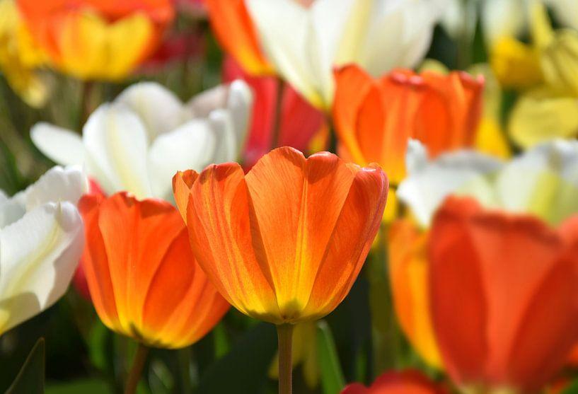 Tulpen-Spring van Markus Jerko