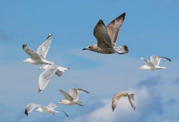 Flying Seagulls van Mathijs De Koning