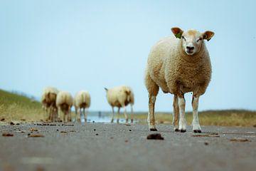 Schafe auf Ameland von Génol de Jong