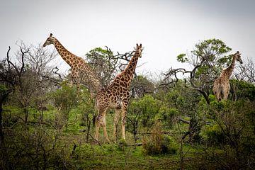 Giraffes in Zuid-Afrika van Marcel Alsemgeest