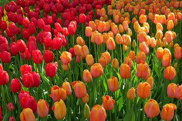 tulipes colorées sur Carola van Rooy