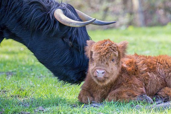 Pasgeboren schots hooglander kalf met moeder