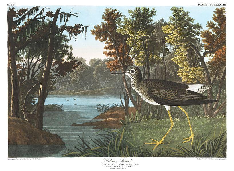 Kleiner Gelbschenkel von Birds of America