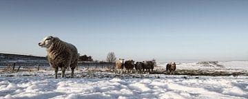 Snowy sheep von Eppo Karsijns