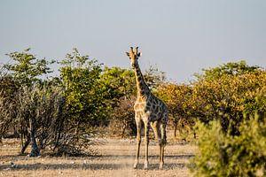 Het oogcontact met een giraffe