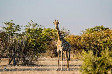 Het oogcontact met een giraffe van Sander RB