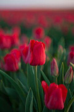 Rote Tulpen auf dem Tulpenfeld von t.ART