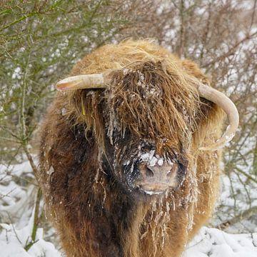 Schottischer Highlander im Schnee von Dirk van Egmond