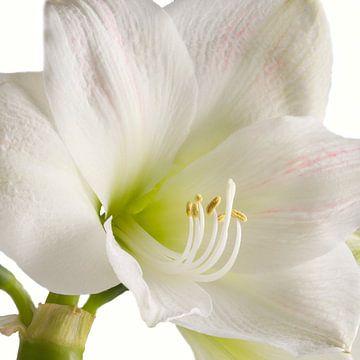 Amaryllis bloem von