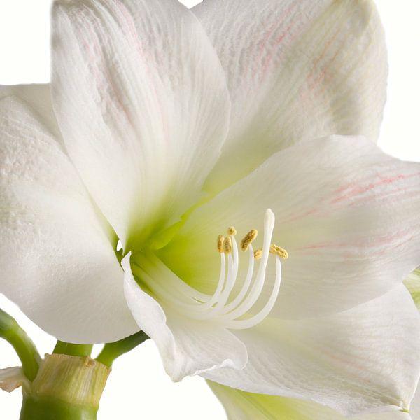 Amaryllis bloem sur Menno Schaefer