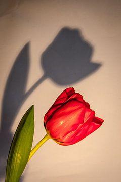 tulp met schaduw van