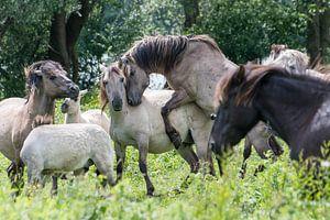 Hengst Konik-Pferde von Diantha Risiglione