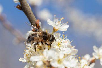Biene bei der Arbeit von Bas Groenendijk