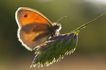 Vlinder in tegenlicht. von Gert J ter Horst
