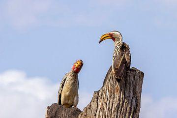 2 Nashornvögel von Petra Lakerveld