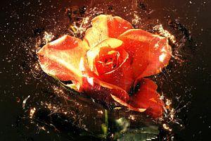 Summer rose in love