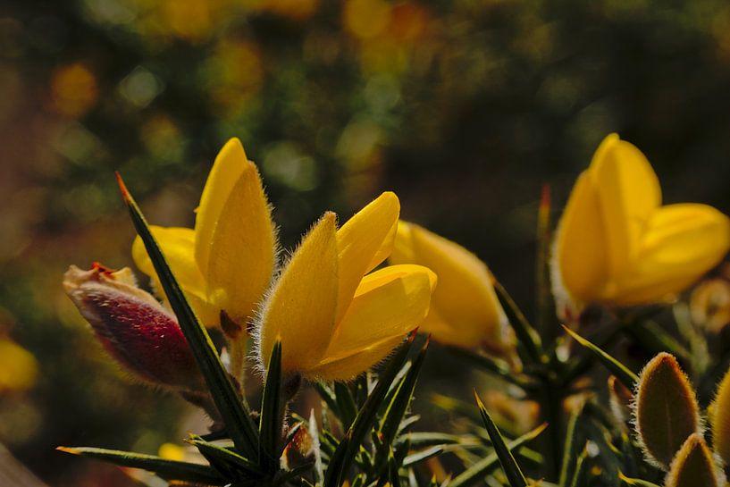 Brem bloemen, close up van Kristof Lauwers