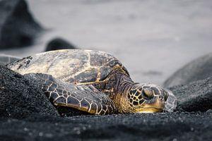 Schildpad Hawaï