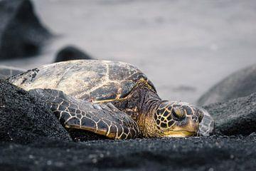 Schildkröte Hawaii von road to aloha