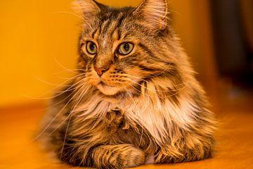 Katze - Maine Coon männlich Portrait von Gerwin Schadl