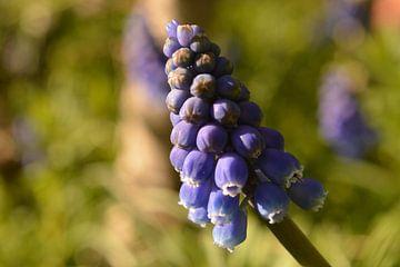 Close-up van blauwe druif met schaduw van Klaas Dozeman