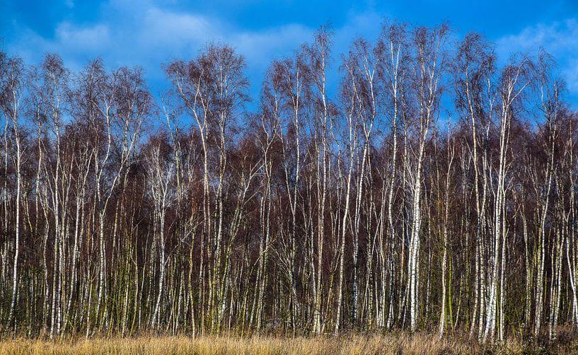 Berkenstammen in de winterzon, het Twiske, Nederland van Rietje Bulthuis