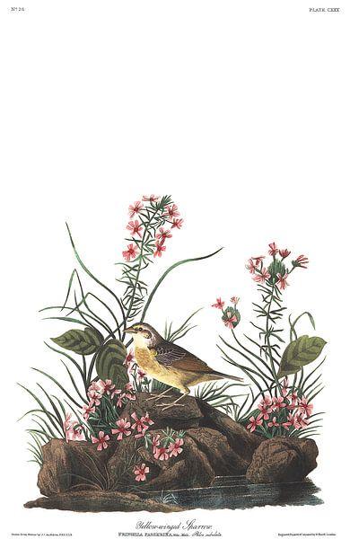 Sprinkhaangors van Birds of America