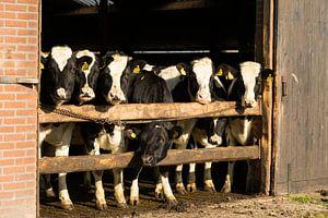 Koeien proeven de lente bij de ingang van de stal.