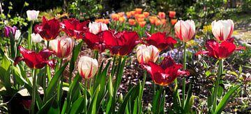 Blühende Tulpen von Corinne Welp