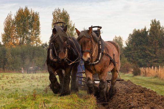 Ploegen in de herfst met trekpaarden