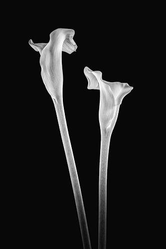 Callas 2 in zwart wit
