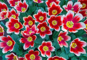 Rot mit weißen Tulpen in einem Feld von Blumen von oben fotografiert von Ben Schonewille