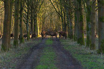 Edelherten in het bos van Brian Morgan