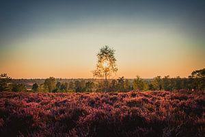 Zonsondergang op een veld vol heide van Koop je Canvas