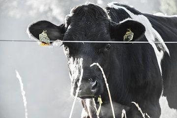 Koe in de ochtendmist van
