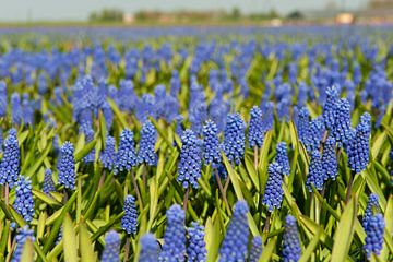 Landschap met blauwe druifjes van Ivonne Wierink