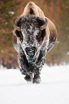 American bison sur