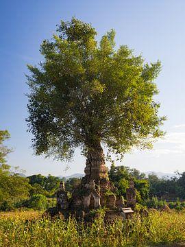 Baum, der aus einer Stupa in Hsipaw, Myanmar, herauswächst von Teun Janssen