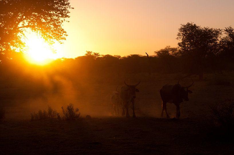 Cows in the last light van Damien Franscoise