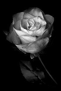 Roos van Peter van Nugteren
