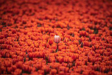 Tulpenveld - Steek boven die rest uit van Jilke Hellinga