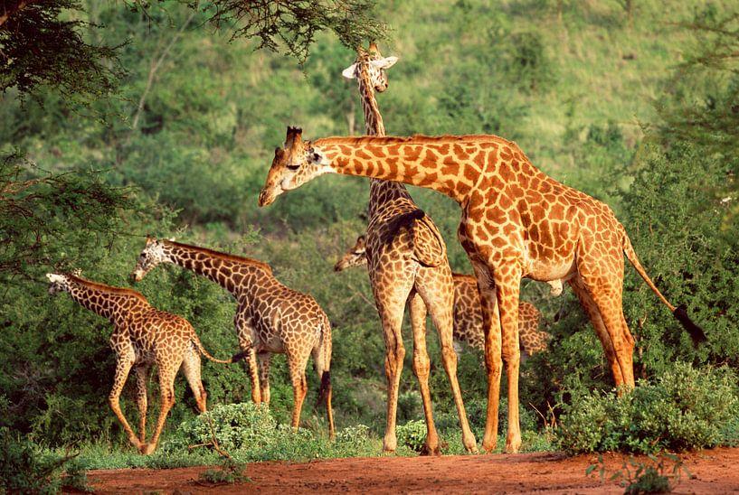 Groep giraffen in Kenia van Nature in Stock