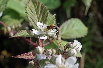 Insekt auf Brombeerblüte von Babetts Bildergalerie