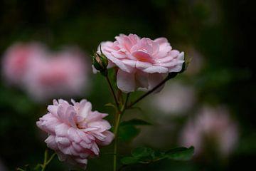 launische rosa Rosen von Tania Perneel