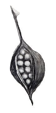 Samenschale eines Kurrajong-Baumes (Holzkohle, 2020) von Remke Spijkers