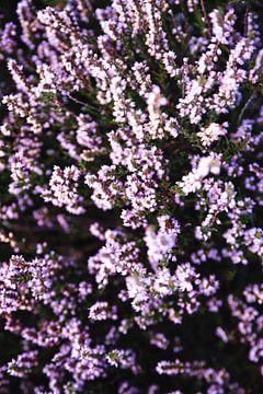 De paarse bloeiende hei van Crailo II, bij Bussum in Nederland van Evelien Lodewijks