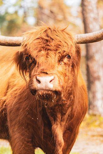 Schotse Hooglanders in het Veluwse natuurgebied