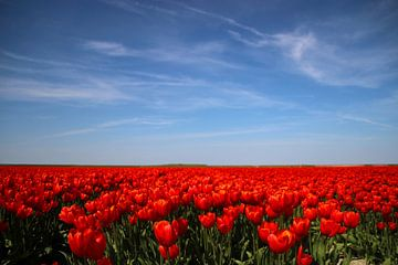 Rozenvelden onder blauwe hemel von Jasper van Dijken