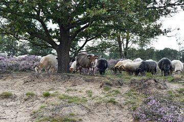 Drenthe mouton de bruyère